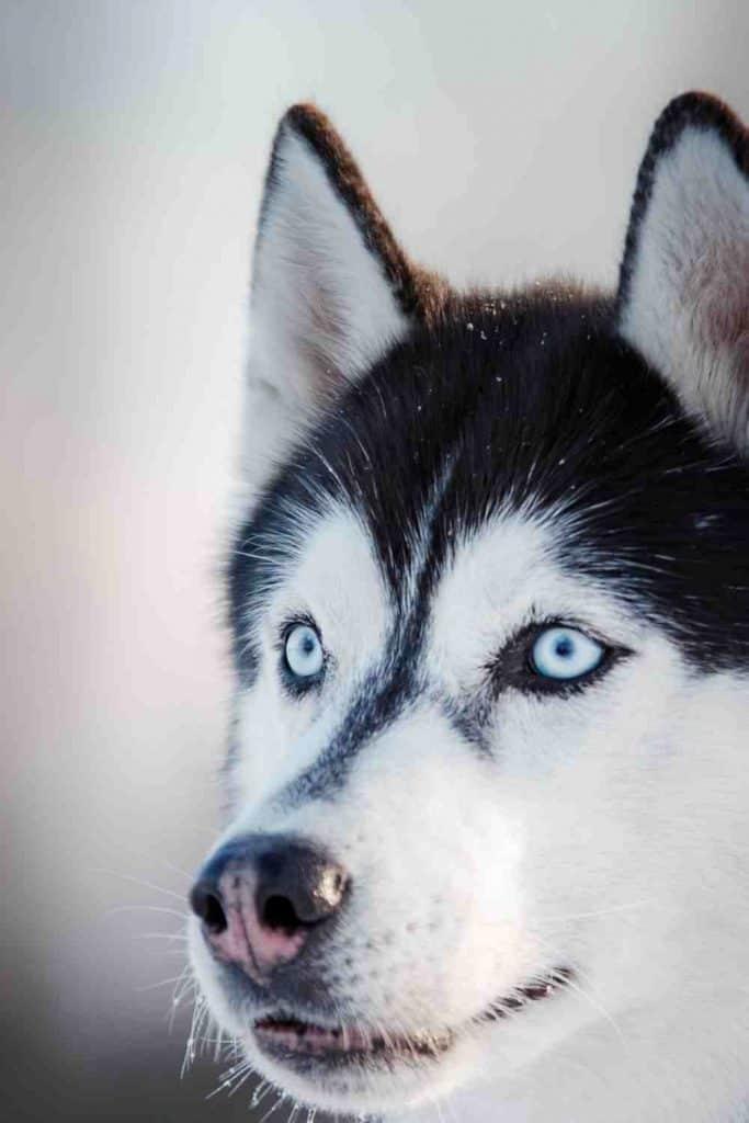 comida para perros husky