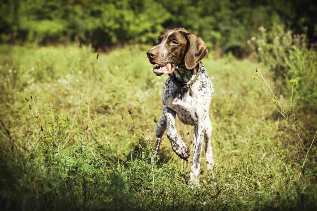 What are Pointers Bred for?