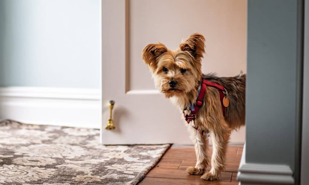 When Do Yorkie Puppies Need Their First Haircut?