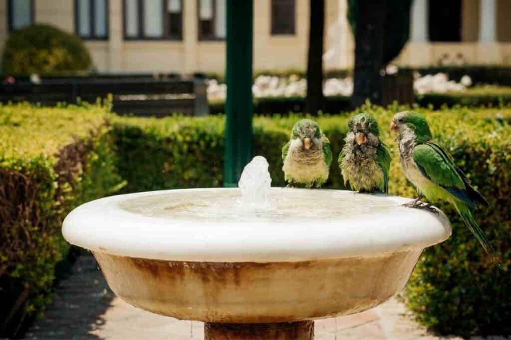 Do Parakeets Drink Water? Bird Baths #parakeet #birds #petbird