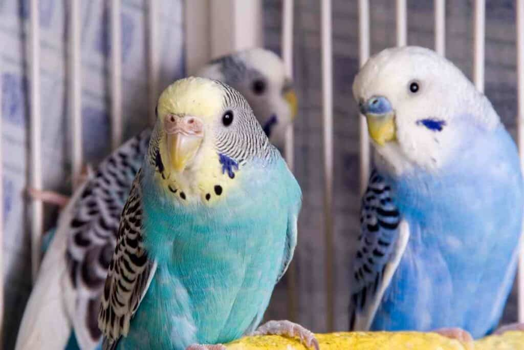 Do Parakeets Recognize Their Owners?