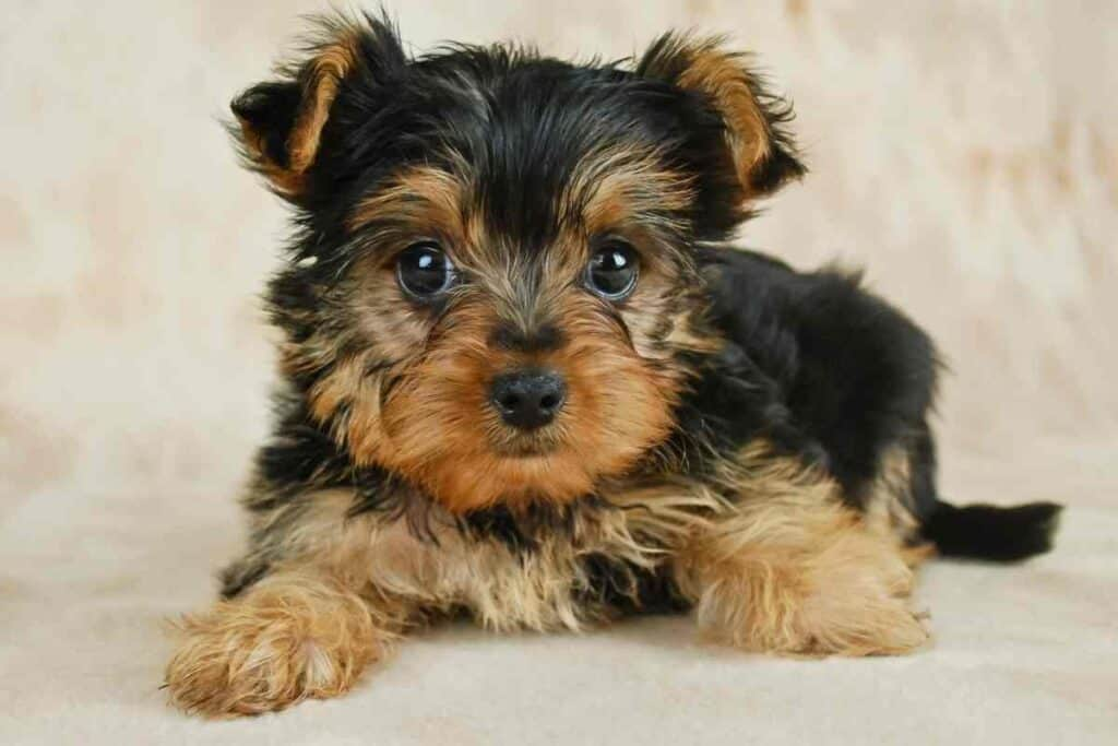 How Much Water Should a Yorkie Puppy Drink?