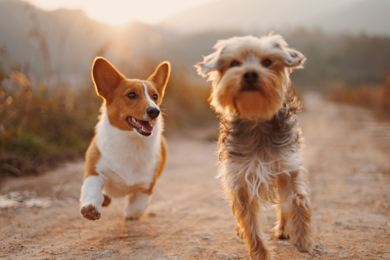 two brown and white dogs running dirt road during daytime