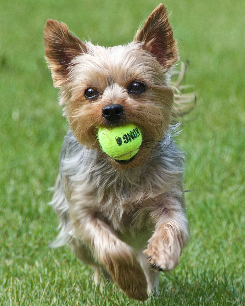 brown and black yorkshire terrier puppy playing green tennis ball on green grass field during daytime